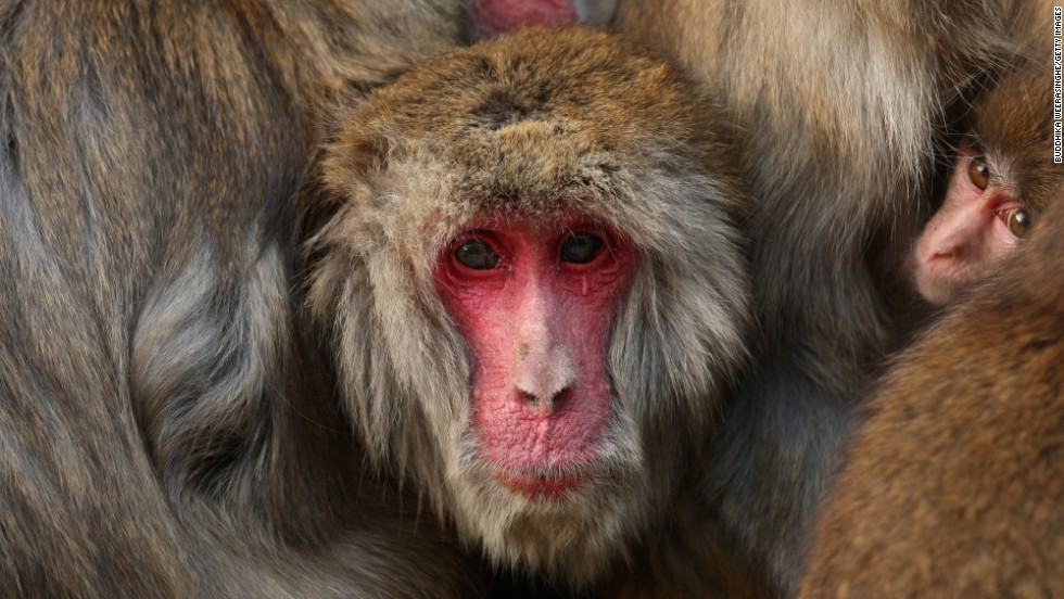 Japanese macaques, or snow monkeys, are the most northerly-living non-human primates, say scientists. Mount Arashiyama's Iwatayama Monkey Park is home to some 100 of the cute -- but occasionally aggressive -- creatures.