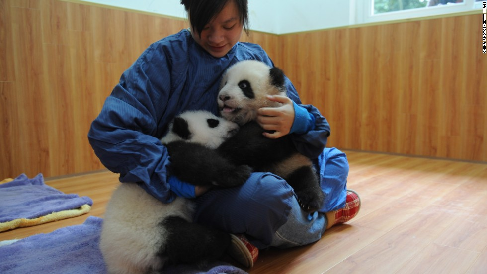 A carer looks after twin panda cubs in China's Sichuan province on October 24, 2008.