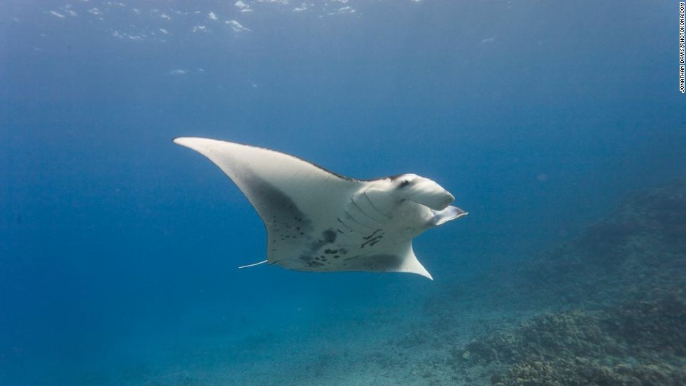 The waters off the Big Island of Hawaii's Kona Coast are known for manta rays. After sunset, dive companies run excursions using underwater lights to attract the harmless rays by drawing plankton to the area.