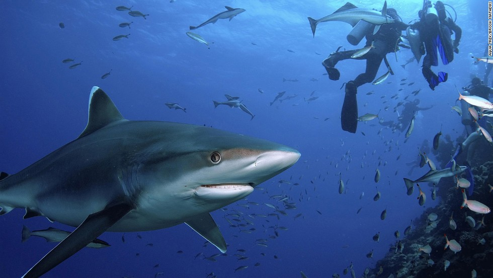 A safe way to swim with man-eaters? Fiji's Shark Reef Marine Park offers divers a rare chance to see bull and occasionally tiger sharks from just meters away.