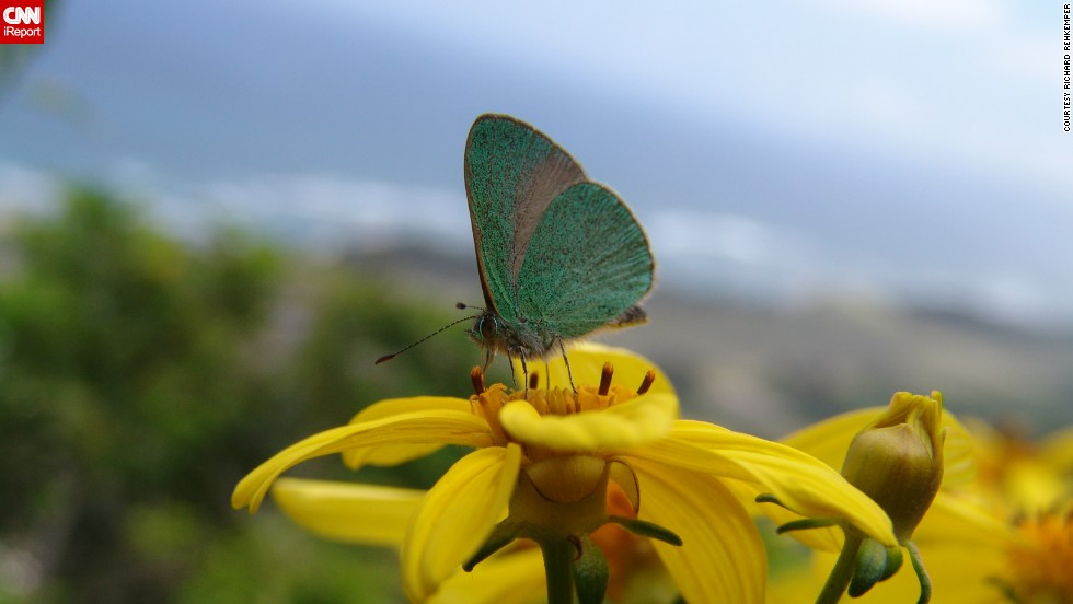"""A <a href=""""http://ireport.cnn.com/docs/DOC-954974"""">blue butterfly</a> rests on a <a href=""""http://data.bishopmuseum.org/ethnobotanydb/ethnobotany.php?b=d&ID=kookoolau"""" target=""""_blank"""">kookoolau flower</a> in Kealia Trail in Mokuleia along Oahu's North Shore in a shot by Richard Rehkemper."""