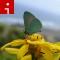 irpt hawaii Oahu butterfly