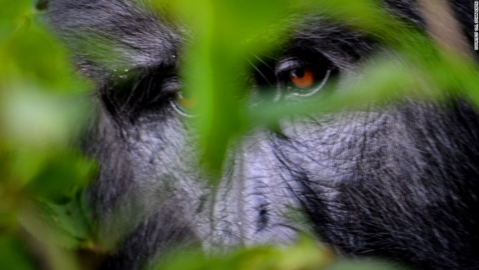 <strong>Gorilla tracking (Uganda)</strong>: The Bwindi Impenetrable Forest becomes a little more accessible thanks to Dr. Gladys Kalema-Zikusoka, one of the world's top gorilla experts, who offers guided tours. At the gorilla field research station you'll have a chance to analyze fresh gorilla dung.