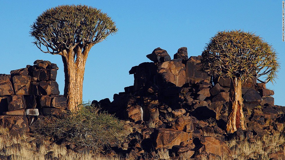 The quiver tree gets its name from the local bushman, who used to make quivers for their bows from dead quiver tree branches.