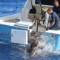 03 700 Pound swordfish