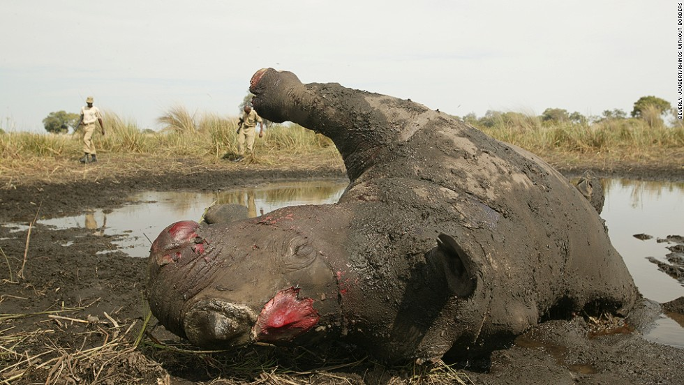 Rhinos are targeted by poachers, fueled by the belief in Asia that their horns cure various ailments.
