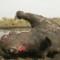 rhinos without borders dead rhino