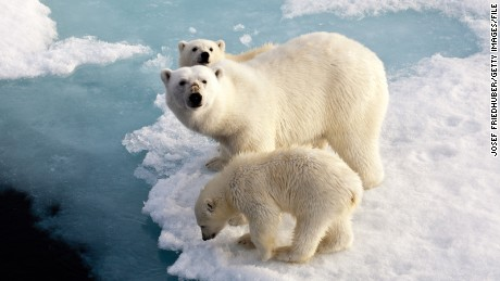 Melting polar ice caps - Polar bear mother with two cubs on an ice floe in the Arctic Ocean between Franz Josef Land and the North Pole.