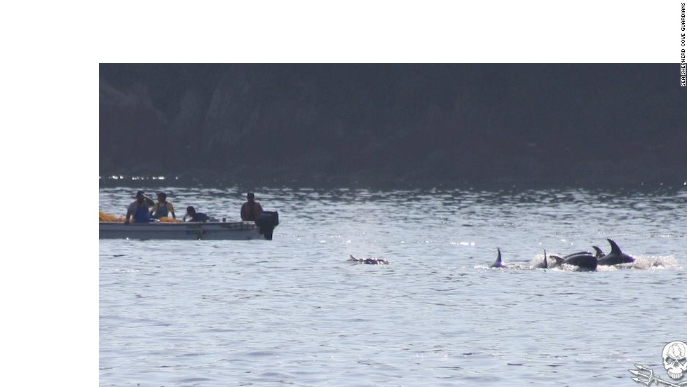 """On this occasion, eyewitnesses saw eight Risso's dolphins driven into the cove. Four were young calves that were """"dumped back out to sea,"""" according to Sea Shepherd. Calves usually stay with their mother for 3-6 years."""