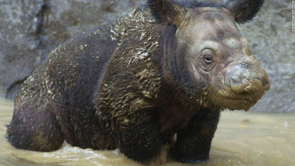 Sumatran rhino populations are extremely threatened by poaching, the WWF says.