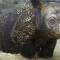 WWF sumatran rhino