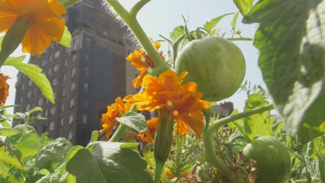Rooftop gardening chris boyette ts orig_00002414.jpg
