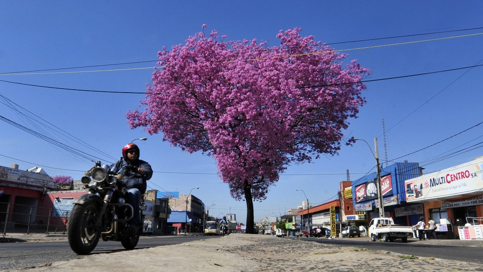 'A biker rides past a pink lapacho in Asuncion. The lapacho is the national tree of Paraguay.' from the web at 'http://i2.cdn.turner.com/cnnnext/dam/assets/141008163257-paraguay-pink-lapacho-horizontal-large-gallery.jpg'