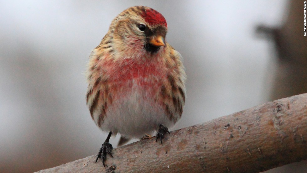 "These birds are called <a href=""http://ireport.cnn.com/docs/DOC-893178"">redpolls</a> after the distinctive red marking on their head. Lee Gunderson says they are one of winter's passing joys in Canada."