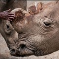 Suni last northern white rhino