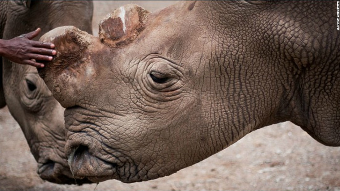 Sudan is one of a handful of northern white rhinos left worldwide.