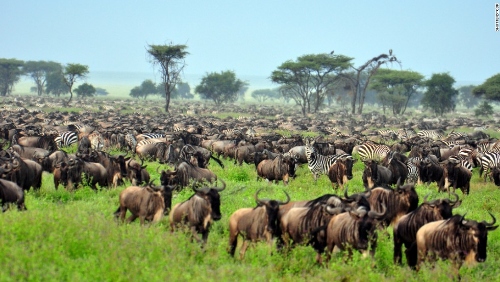 The annual great migration of millions of wildebeest, zebra and other animals across the Serengeti Plains is one of nature's most remarkable events.