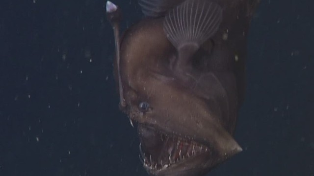 Elusive Black Seadevil gets close up