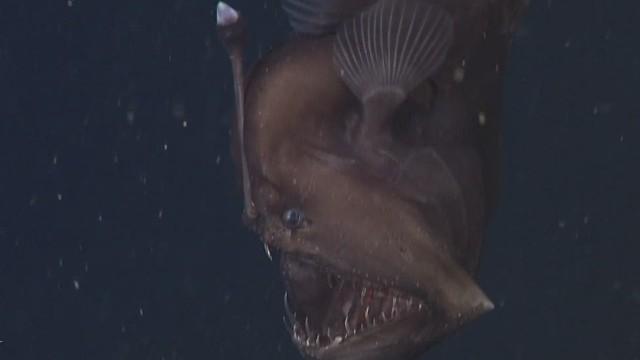 natpkg anglerfish black seadevil orig_00004514.jpg