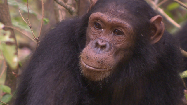 2014: Fifty-five years on, Jane Goodall's famous chimps still surprise us