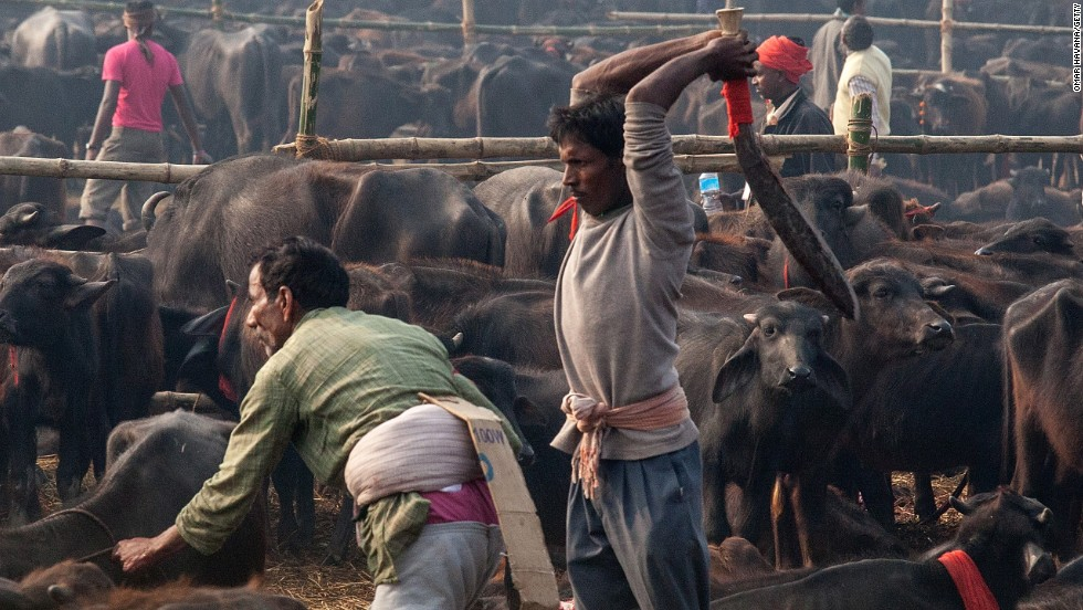A devotee slaughters a water buffalo during the celebration of the Gadhimai festival on November 28 in Bariyarpur, Nepal. Held every five years at the Gadhimai temple of Bariyarpur, the festival is the world's largest slaughter of animals, during which between thousands of water buffaloes, pigs, goats, chickens, rats and pigeons are slaughtered in order to please Gadhimai, the Goddess of Power.