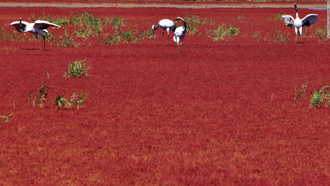 In the Liaohe River delta outside Panjin, China, in Liaoning province, Red Beach gets its name from seaweed that flourishes in the saline-alkali soil. The plant turns a vibrant red in the fall.
