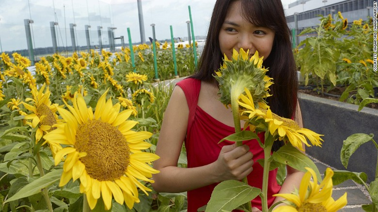 No joke. There's a sunflower garden in an airport.