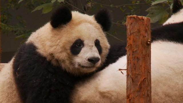 China lucha contra un virus que ha matado dos osos panda y dejado grave a un tercero