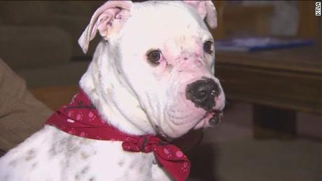 dnt ca pit bull bait dog rescue_00012713.jpg