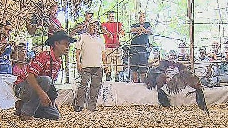 pkg penhaul cockfighting cuba_00002409.jpg