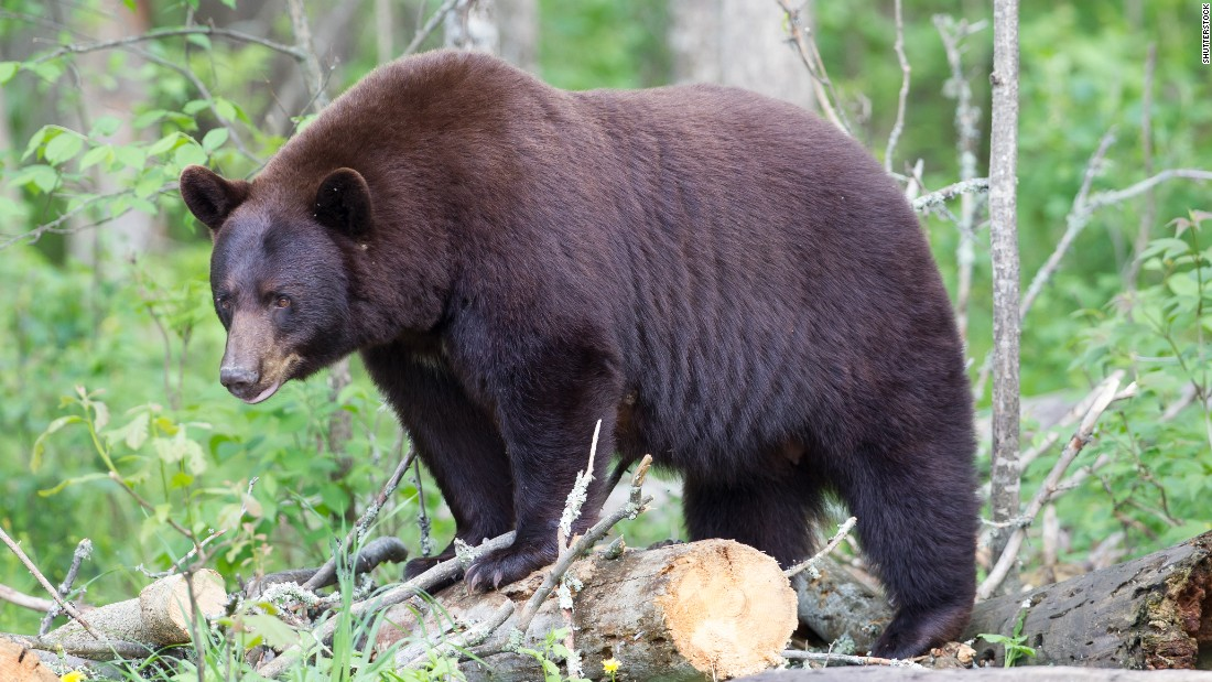 Here's a look at other rare animals whose once-dwindling populations have rebounded. The inspiration for the teddy bear, the <strong>Louisiana black bear,</strong> will be delisted as a threatened species on March 11, 2015. The bear was originally listed under the Endangered Species Act in 1992 due to habitat loss.