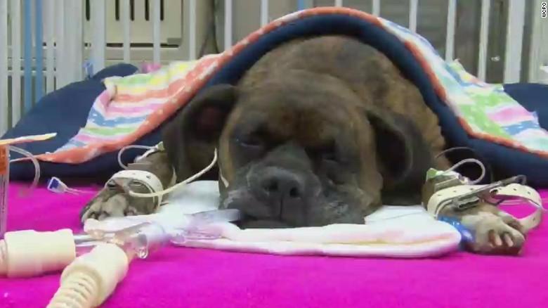 Veterinarios luchan por la vida de una perra que intentó salvar a su dueño de las llamas