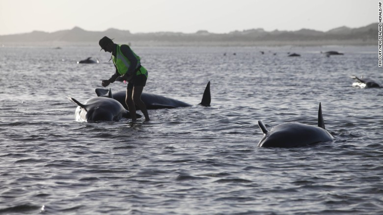 Más de 190 ballenas varadas en playa de Nueva Zelanda