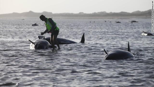 Mueren más de 100 ballenas de las 198 que quedaron varadas en Nueva Zelanda