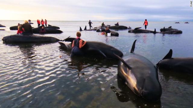 Rescatistas regresan al mar a 66 ballenas encalladas en playas de Nueva Zelandia