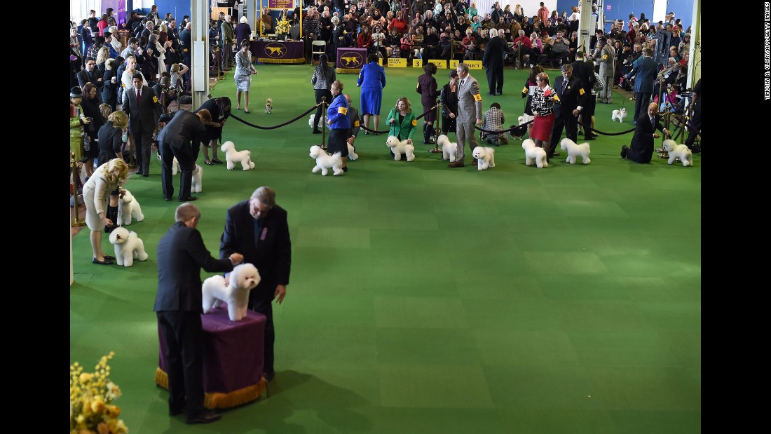 A bichon frise is judged on February 16.