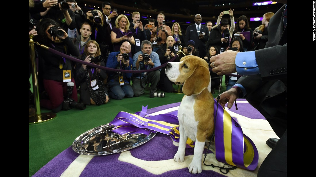 Miss P, a 15-inch beagle, poses for cameras with handler William Alexander after winning best in show at the 139th annual Westminster Kennel Club Dog Show at Madison Square Garden in New York on Tuesday, February 17.
