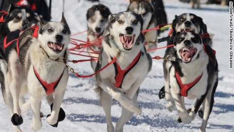 Siberian Huskies in action during the Sled dog World Championship at Bernau, Germany, 20 February 2015. About 1000 dogs from 21 nations enter the track from Friday on. The World Championship takes place in Bernau (20 to 22 February) and Todtmoos (27 February to 1st March).