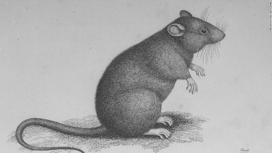 Rats are one of the many rodent species that carry the plague. The disease is typically spread to people through a bite from a rodent flea. Although recent research may exonerate rats as primarily responsible for the Black Death, and instead put the blame on gerbils, rats probably played a role in that and other plague epidemics.
