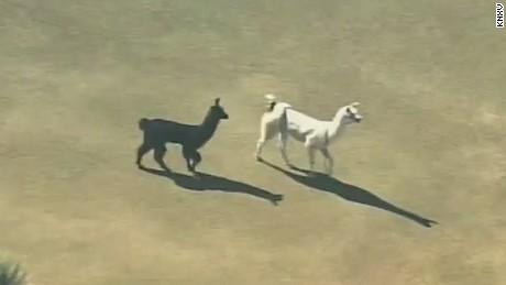 nr vo llamas on the loose arizona_00001015.jpg
