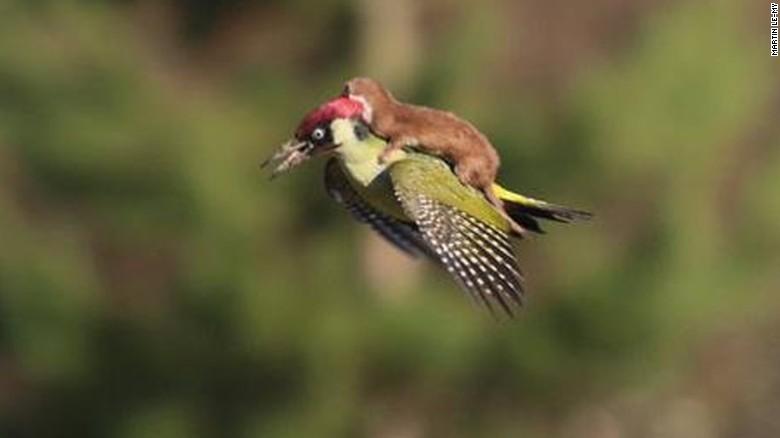 Una comadreja vuela en la espalda de un pájaro carpintero