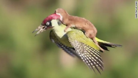 erin pkg moos weasel woodpecker flies_00000000.jpg