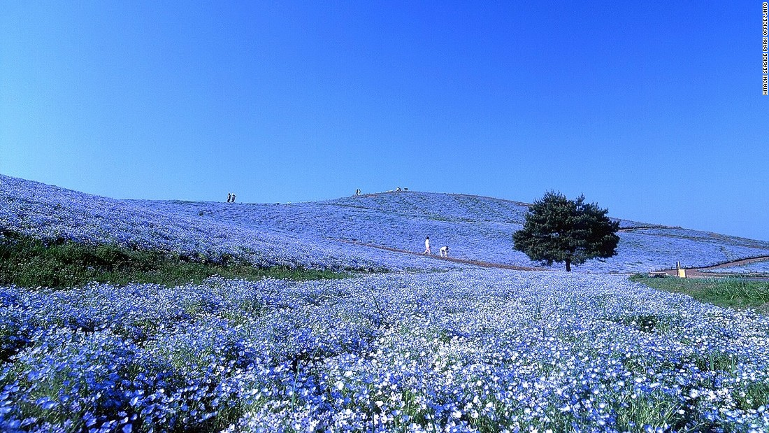 "Also known as ""baby blue eyes,"" more than four million nemophilas bloom from late April to May in Hitachi Seaside Park, the public park on Miharashi Hill.<br />The Nemophila Harmony is the highlight of park's flowering events. <br />The 190-hectare park constantly changes color with the seasons. During the transition into fall, puffy kochia shrubs turn from vibrant green to fiery red.<a href=""http://en.hitachikaihin.jp/"" target=""_blank""><em><br />Hitachi Seaside Park<em></a></em>, 605-4 Onuma-aza, Mawatari, Hitachinaka, Ibaraki</em><em>, Japan</em><em>; +81 29 265 9001</em>"