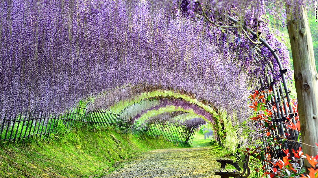 "Walking into an oil painting? The fragrant wisteria tunnel, the most stunning display at the Kawachi Fuji Garden, makes it possible. <br />With flowering vines overhead, the walkway is said to inspire a zen-like calm in visitors. <br />The garden displays about 150 wisteria plants of 20 different species. <br />It hosts the annual Wisteria Festival at the end of April, when the flowers are in full bloom.<em><br /><a href=""http://japan-magazine.jnto.go.jp/en/1502_wisteria.html"" target=""_blank"">Kawachi Fuji Garden</em></a><em>, 2-2-48 Kawachi, Kitakyushu, Fukuoka, Japan; +81 936 52 0334</em>"
