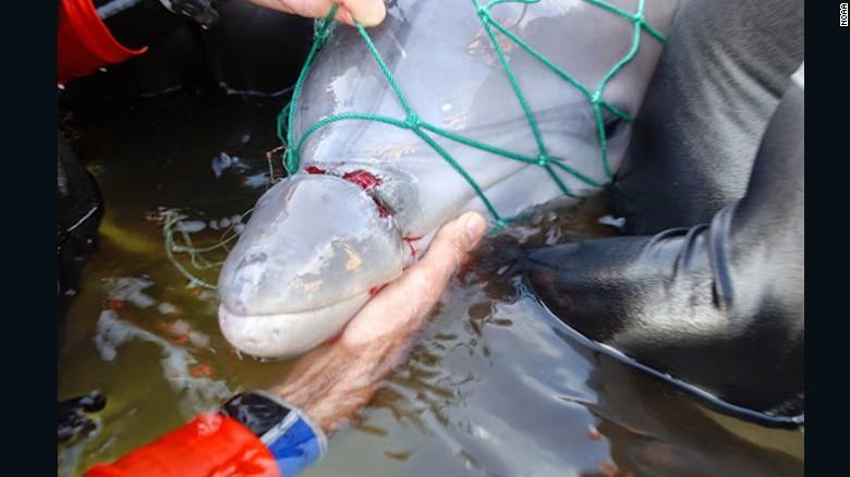 Cómo se rescata a un bebé delfín atrapado en redes de pesca