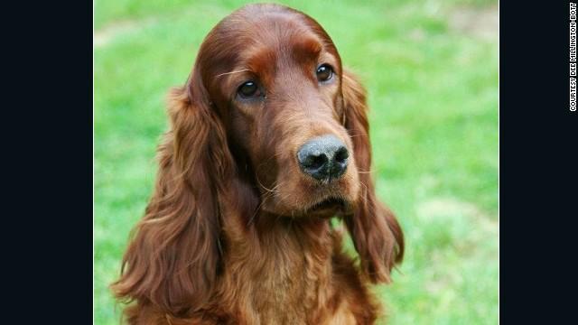 Envenenan al subcampeón de un importante concurso canino