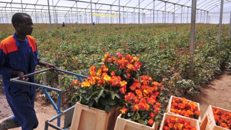 A worker at the Maridaidi Farm in Naivasha, carry roses which will be exported to Europe for Valentine's Day on February 12, 2015. Kenya is the major provider of quality cut flowers to the EU with a market share of about 40%. Flower farmers are upbeat ahead of the Valentine's Day and are projecting a rosy picture for the sector, despite the recent losses incurred during the Economic Partnership Agreement (EPA) impasse. AFP PHOTO / SIMON MAINA (Photo credit should read SIMON MAINA/AFP/Getty Images)