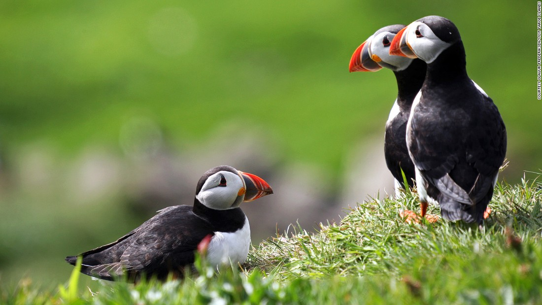 "Mykines and Skuvoy are popular places to watch puffins. Known as ""lundin"" in Faroese, the birds are surprisingly approachable."