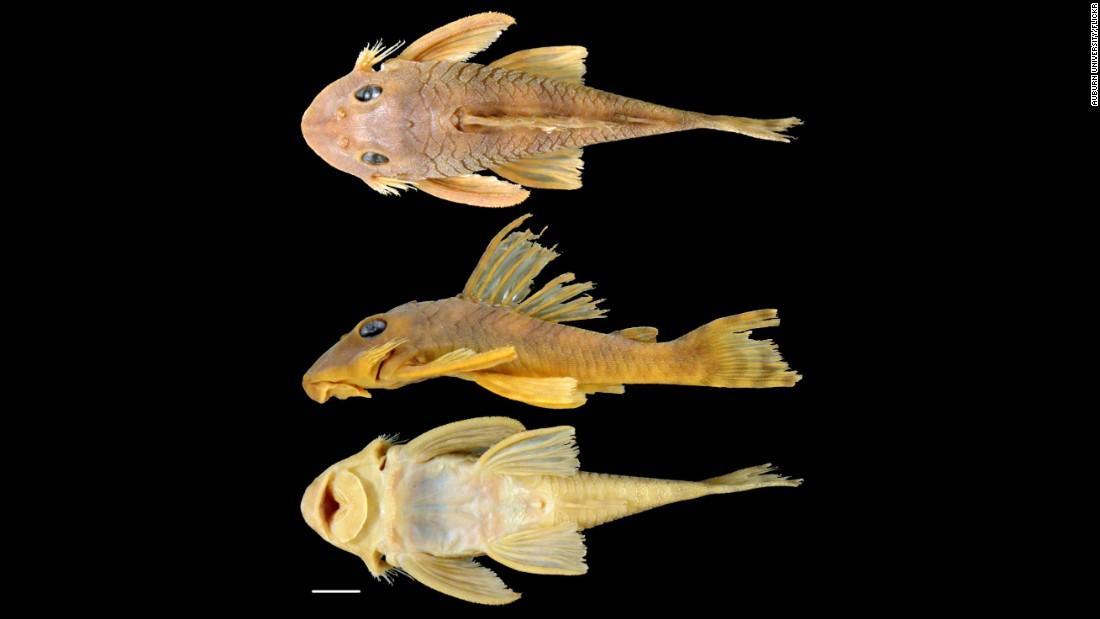 'Greedo', el pez gato nombrado en honor a un personaje de 'Star Wars'