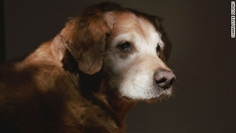 A retired 911 search-and-rescue dog, profiled in 2011 for Dumas' series Retrieved